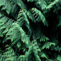 Canada, British Columbia, Vancouver Island, Red cedar (Thuja plicata) boughs in coastal rainforest near Port Renfrew