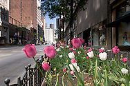 Tulips on State Street in Downtown Chicago, Illinois