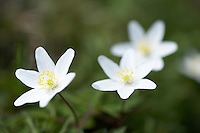 Wood Anemone growing in spring woodland