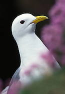 Kittiwake amongst thrift