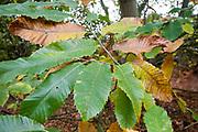Sweet chestnut leaves in autumn Suffolk England, UK - castanea sativa, Spanish chestnut