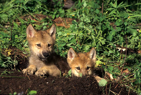 Gray Wolf, (Canis lupus) Pair of pups. Rock mountains. Montana.  Captive Animal.