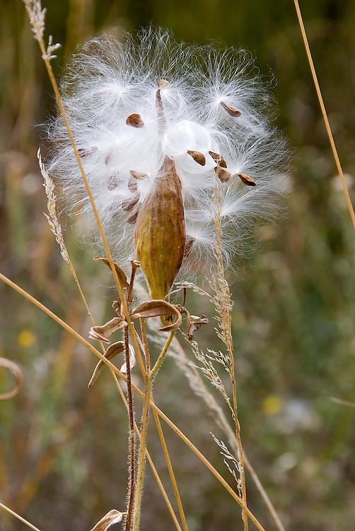 Milkweed, Canyonlands National Park, Utah.