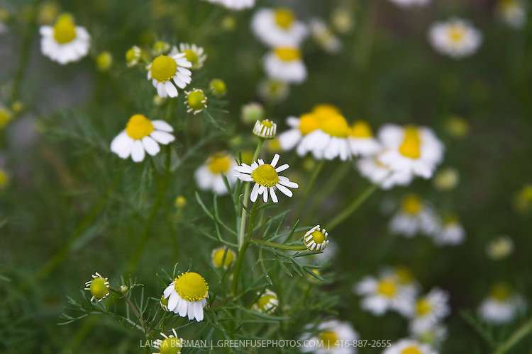 White and yellow daisy-like flowers and ferny foliage of Chamomile (Anthemis nobilis).