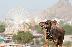 "© Licensed to London News Pictures. 21/11/2012. Pushkar, India. A  camel stands before a backdrop of the fairground at the Pushkar Camel Fair in Rajasthan, India. The Pushkar Fair, or Pushkar ka Mela, is the annual five-day camel and livestock fair, held in the town of Pushkar in the state of Rajasthan, India. It is one of the world's largest camel fairs, and apart from buying and selling of livestock it has become an important tourist attraction and its highlights have become competitions such as the ""matka phod"", ""longest moustache"", and ""bridal competition"".  Photo credit : Richard Isaac/LNP"