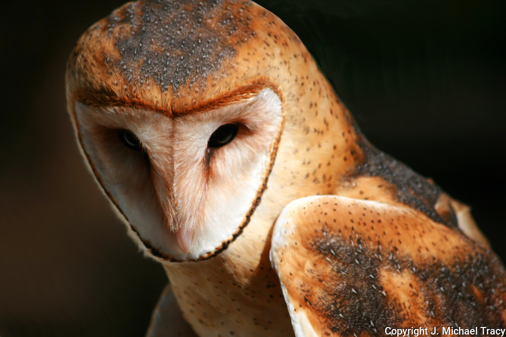 American Barn Owl, alert for movement of potential rodent prey