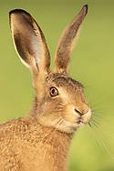 European Hare (Lepus europaeus) juvenile, close up of head, South Norfolk, UK. June.
