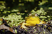 Bullfrog (Rana catesbeiana) in breeding color.