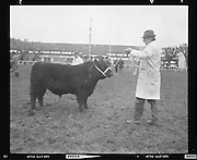 R.D.S. Bull Show..1971..16.02.1971..02.16.1971..16th February 1971..The Royal Dublin Society (RDS) Bull Show got under way in Dublin today with the judging of Hereford, Friesian and Aberdeen Angus bulls. As well as the judging of bulls there was also a competition for Irish large White and Landrace pigs..Image shows an Aberdeen Angus bull being paraded, by his handler, before the judging panel.