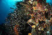 Rich reef with Ox heart ascidian (Polycarpa aurata) and Reeffish. Raja Ampat, West Papua, Indonesia, Pacific Ocean