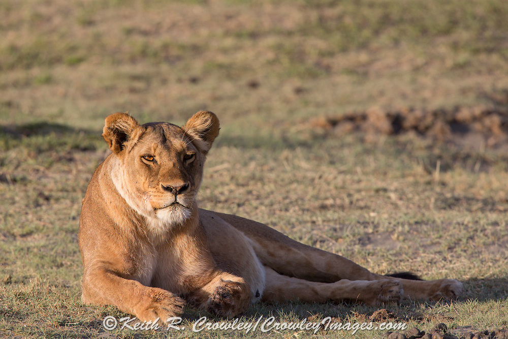 Female lion in east African habitat