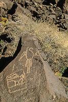 Parrot, Petroglyphs; Boca Negra Canyon, Petroglyph National Monument, New Mexico