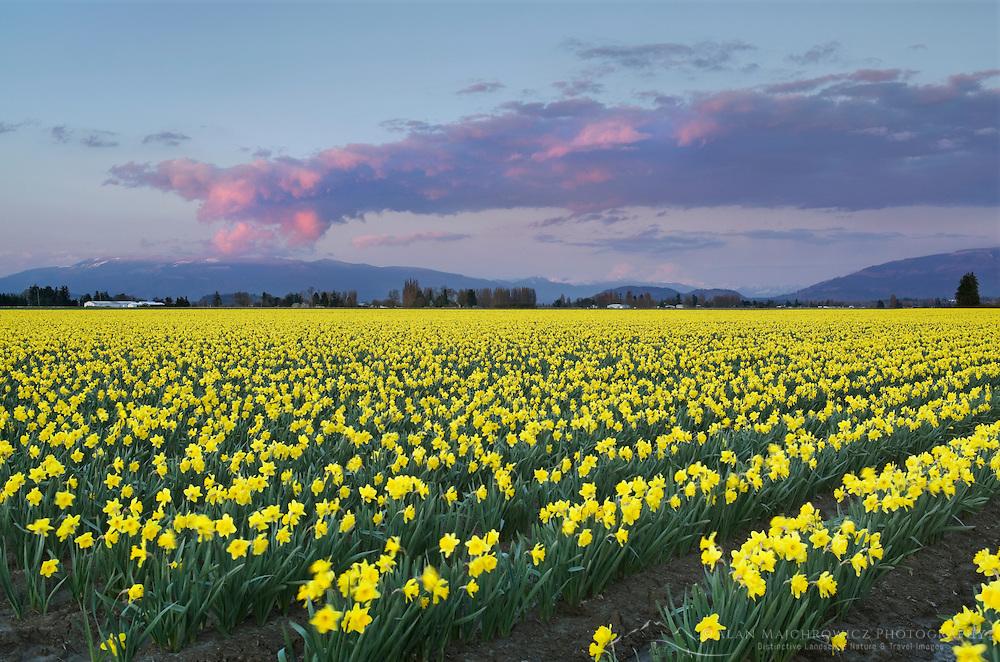 Skagit Valley Daffodil fields, Washington