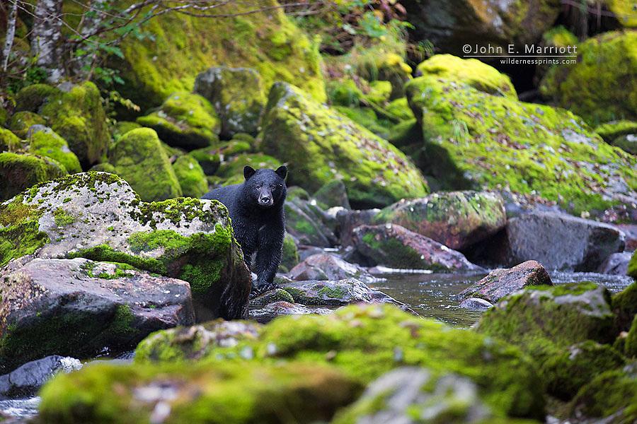 Black bear, Great Bear Rainforest