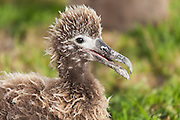 Albatross chick in profile, Midway Atoll.
