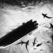 Sharks surrounding our diving boat in Jardines de la Reina, Cuba. 