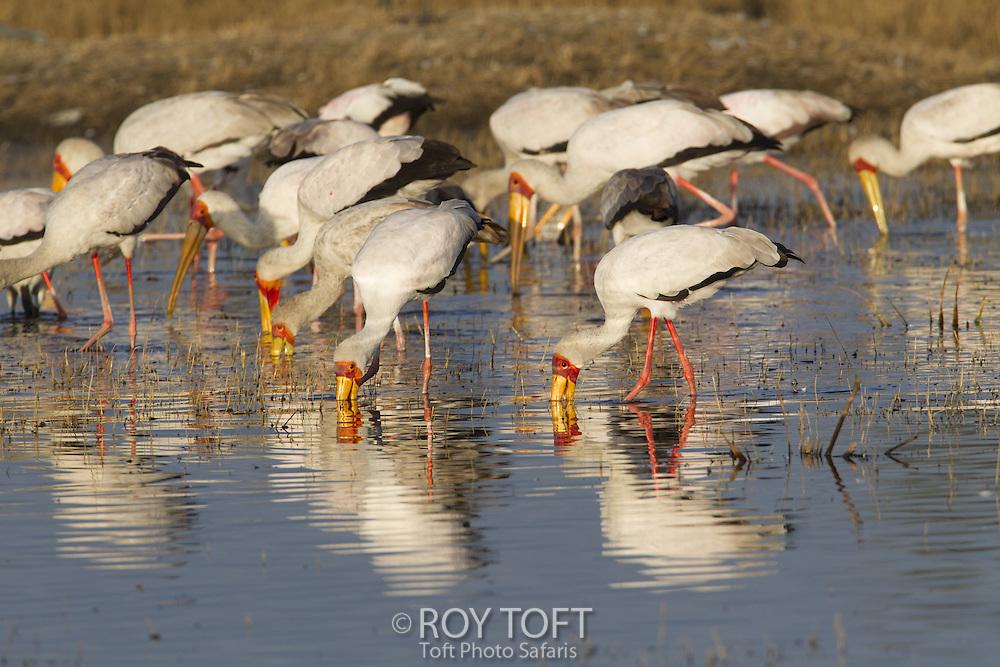 Flock of yellow-billed stork feeding, Okavango Delta, Botswana
