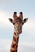 Masai or Kilimanjaro Giraffe Giraffidae grazing in the beautiful plains of the masai mara reserve in kenya africa