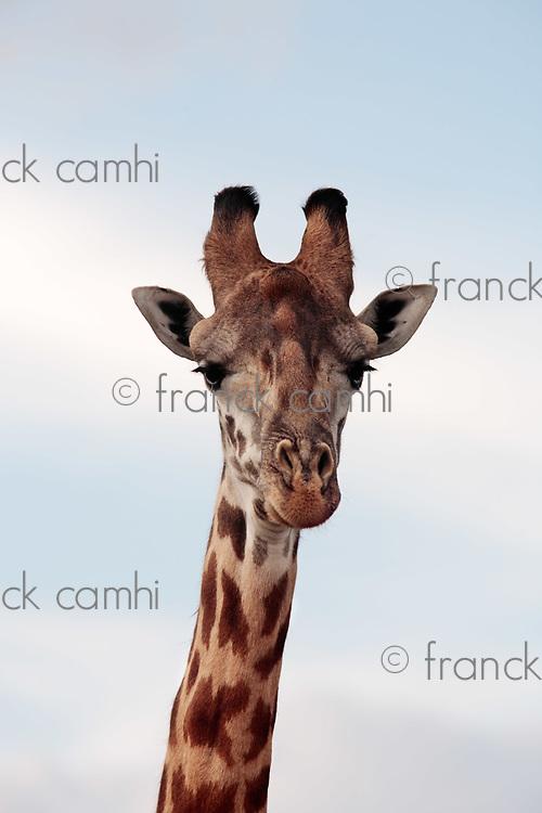 Masai or Kilimanjaro Giraffe Giraffidae grazing in the beautiful plains of the masai mara reserve in kenya africa