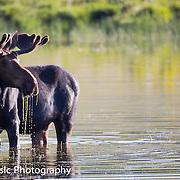 Bull moose in the pond. Near Bear Lake Utah/Idaho 2014