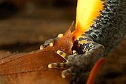 Alpine Newt (Triturus alpestris) female laying an egg. Kiel, Germany | Das Bergmolch-Weibchen (Triturus alpestris) klebt seine zahlreichen Eier einzeln an Wasserpflanzen fest. Dazu presst es in einer typischen Körperhaltung den Hinterleib an den Untergrund.