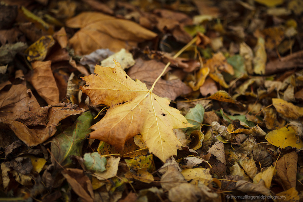 Autumn in Ireland, 2012: prominent single yellow leaf sits on a bed of fallen leaves