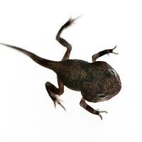 Common toad (Bufo bufo) or European toad, vanlig padda, metamorphosis<br /> Location: Billebjär, Skåne, Sweden<br /> Photographed on a lightbox