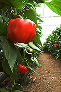 Israel, Jordan Valley, Doshan Farm, Organic Bell Peppers (Capsicum annuum) in a greenhouse Close up of the ripe fruit on a bush