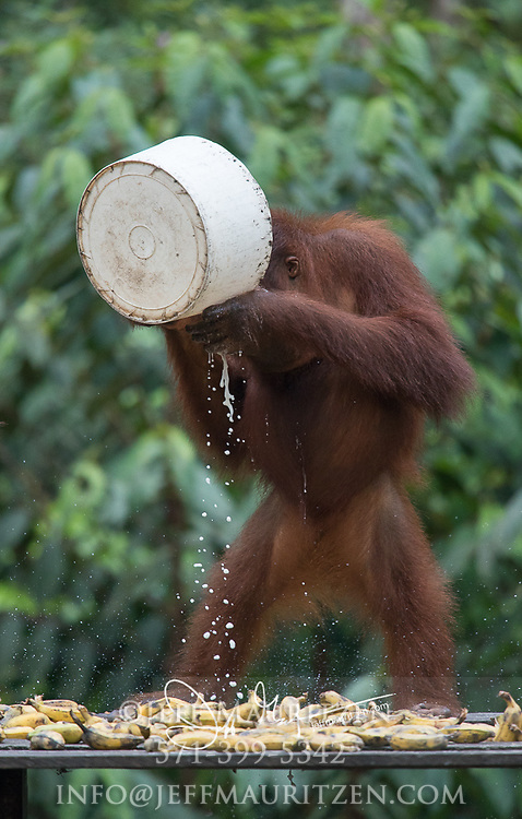 A juvenile Bornean orangutan drinks milk at a feeding station for rehabilited and released orangutans in Tanjung Puting National Park, Indonesia.