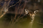 A young white-tailed deer in a wetland forest in spring. Yaak Valley in the Purcell Mountains, northwest Montana.