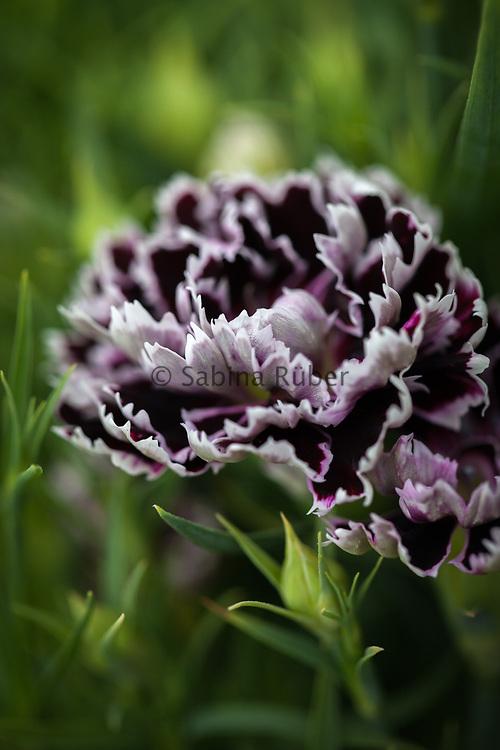 Dianthus chinensis var heddewigii 'Black & White Minstrels' Chinese pink