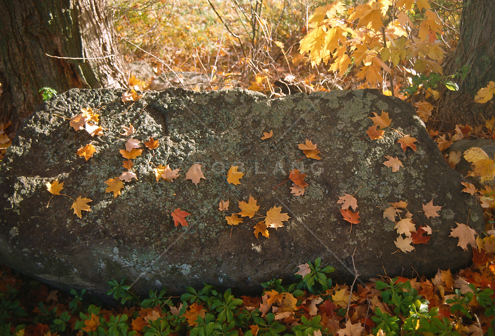 Fallen autumn leaves resting on a large moss covered stone
