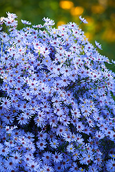 Aster 'Little Carlow' (cordifolius hybrid) AGM