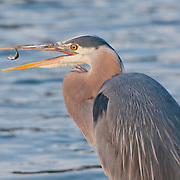 A great blue heron (Ardea herodias) fishes one evening at the Ballard Locks in Seattle, Washington. The bird was able to catch and eat two fish in the twenty minutes I spent photographing it. Photo by William Drumm.