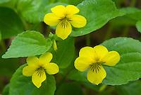 Stream Violet or Pioneer Violet (Viola glabella)