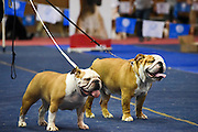Two English Bulldogs paraded at a dog show