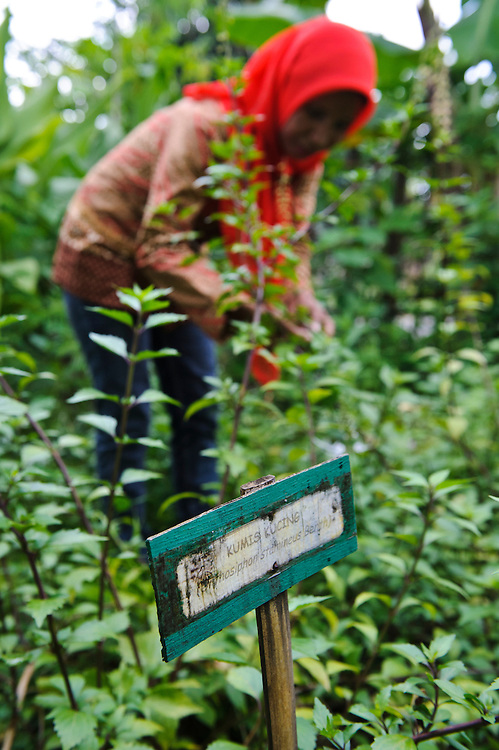 A woman harvesting medicinal herbs for use in traditional medicine, Makassar, Sulawesi, Indonesia.