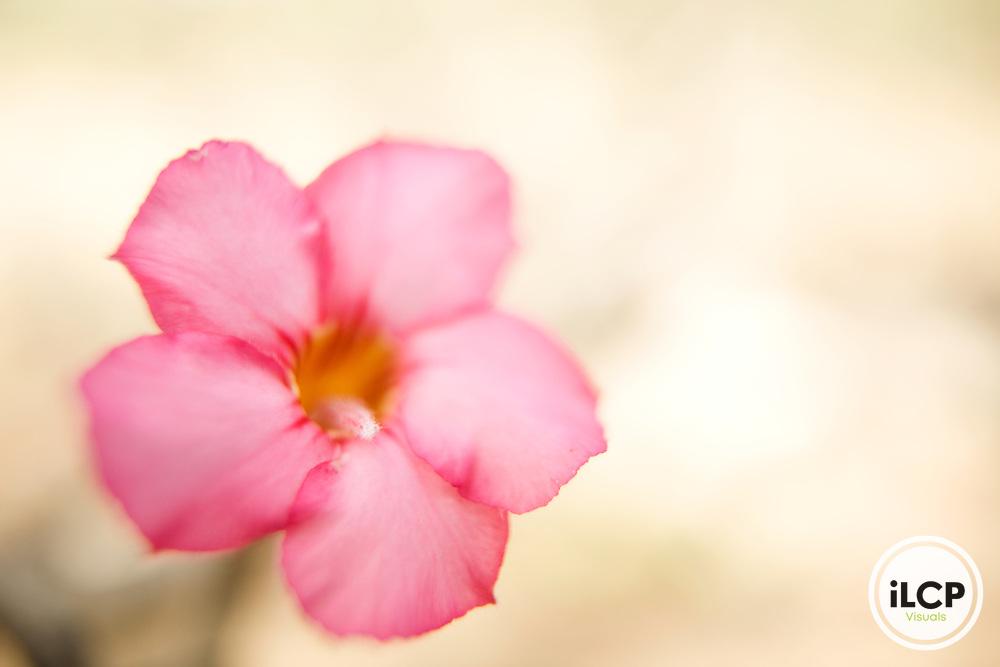 Desert Rose (Adenium obesum) flower, Hawf Protected Area, Yemen