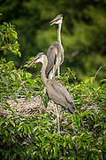 A pair of juvenile great blue herons wait in the nest at Wakodahatchee wetlands, Florida.