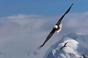 Bald eagle soars over Kachemak Bay at the end of the Homer Spit.