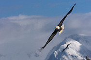 Bald eagle soars over Kachemak Bay at the end of the Homer Spit.
