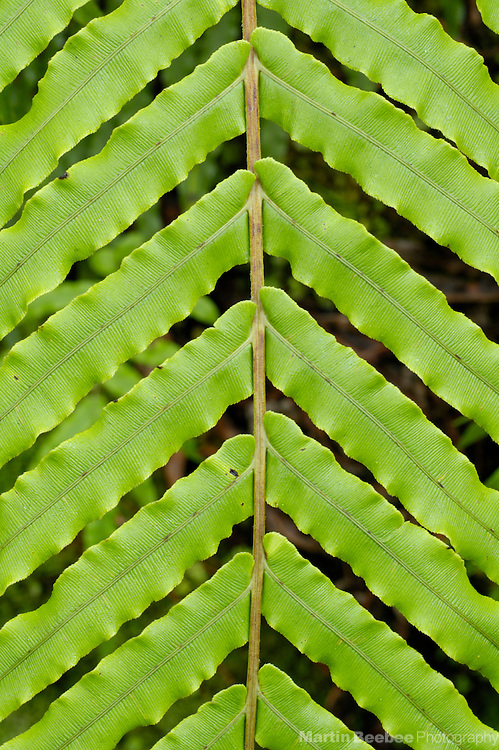 Palm-leaf fern frond (Blechnum novae-zelanidae), Westland National Park, New Zealand