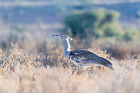 Kori Bustard, Kgalagadi Tranfrontier Park, Northern Cape, South Africa