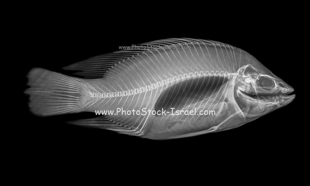 Side view X-ray of a fish on black background