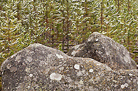 Lichen covered volcanic boulders in an early autumn snowfall caught by branches of Lodgepole Pine (Pinus contorta latifolia) trees growing thickly in a new forest growing after forest fires burned large areas in Yellowstone National Park, Wyoming, USA