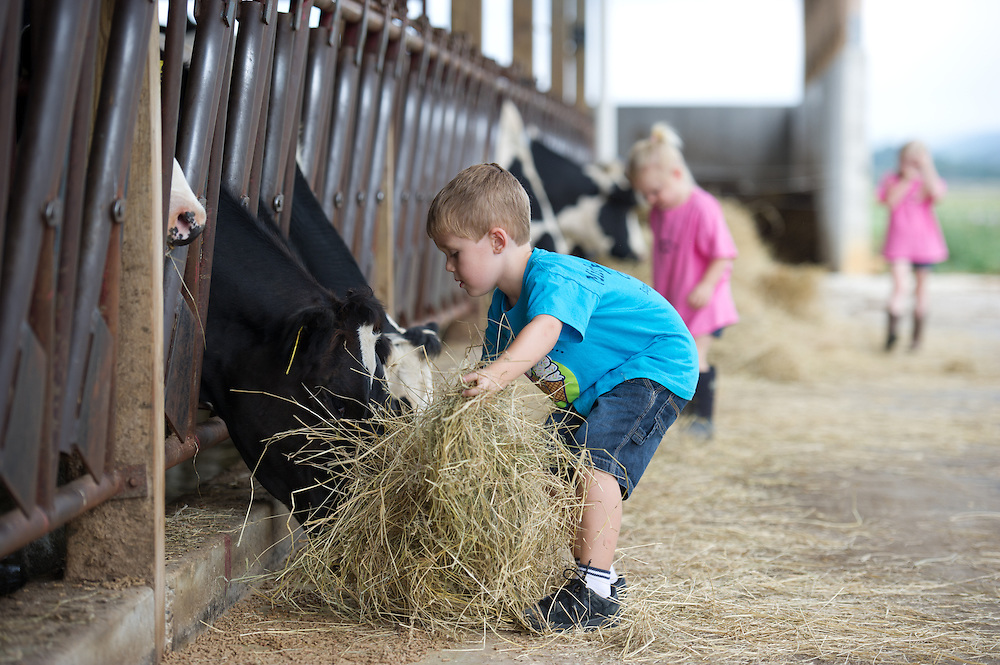Children feeding dairy cows hay in the barn