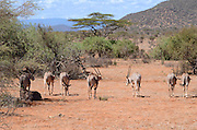 Kenya, Samburu National Reserve, a heard of Gemsbok (Beisa Oryx),