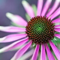 Botanicals: Echinacea