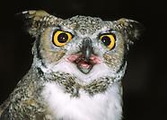 Owls - Nocturnal Brids