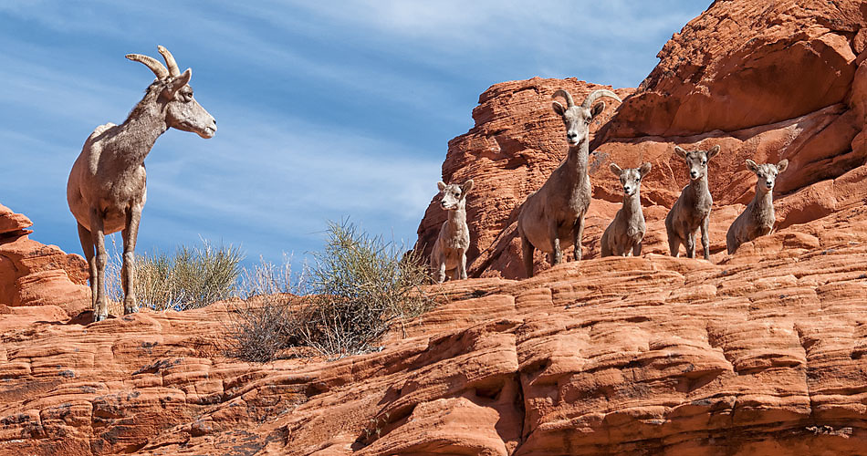 Big Horn Sheep in The Valley of Fire State Park, Nevada